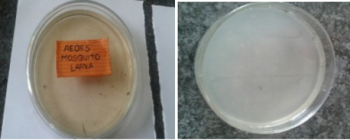<em>Aedes </em>mosquito larva before and after treatment