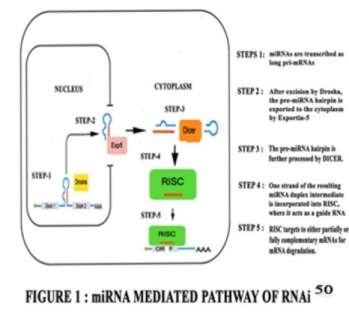 mirnas as mediator of ginsenoside actions Recent studies showed that different stereoisomers of the same ginsenoside, ie 20(r)-ginsenoside and 20(s)-ginsenoside have different pharmacological effects [58, 59] conversely, the present study suggests that the neuroprotective properties of ginsenosides rh 1 and rg 2 may not be related to their c-20 stereochemistry.