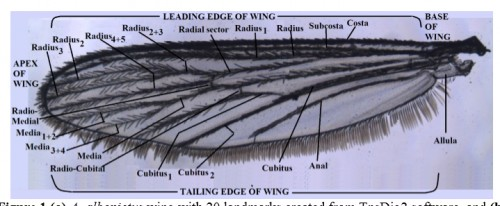 <strong>(b)</strong> labelled generalized mosquito wing showing veins and wing regions