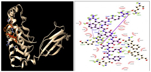 HLA-C*14:02; Docking sites of predicted peptide (RRYLATTQF) against selected MHCI receptors.