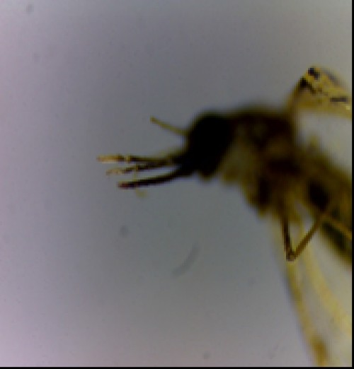 Palp with black tip (2a) and unequal length of palp (2b) in  <em>An. vagus</em>