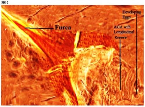 Magnified view of Armature of Genital Atrium (AGA) with longitudinal creases in parous <em>Phlebotomus argentipes</em>.