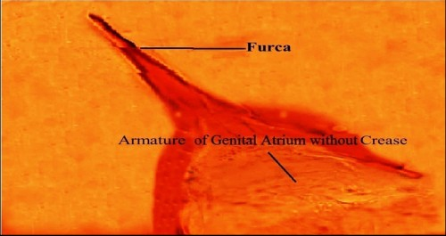 Magnified view of Armature of Genital Atrium (AGA) lacking longitudinal crease in nulliparous <em>Phlebotomus argentipes</em>.