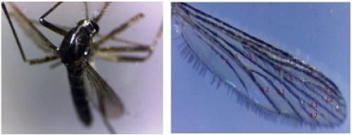 <em>Wild</em> type <em>Ae. albopictus </em>(Female) Wing of wild type adult <em>Ae. albopictus</em>