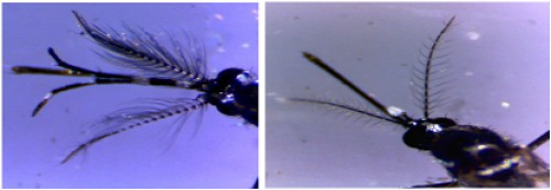 Head of wild type male (A) and female (B) adult <em>Ae. albopictus</em>
