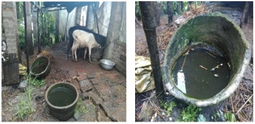 Breeding habitat: Food container of cow (A & B)