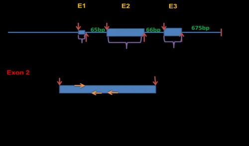 <em>Culex quinquefasciatus</em> Vtg gene sequence diagram showing the intron-exon structure and the positions of the designed Vtg-specific primers (VgF, VgR1, VgR2) used for amplification of Vtg homologue(s) from in <em>Cx. pipiens </em>collected from Egypt. E: exon region.