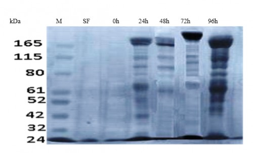 SDS-PAGE of total Coomassie Brilliant Blue stained ovarian protein extract (20 mg/ ml). SF: sugar-fed females, 0: immediately PBM, 24 h PBM, 48 h PBM, 72 h PBM, 96 h PBM, M: protein ladder (KDa)