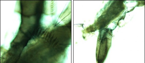 Identification of larvae