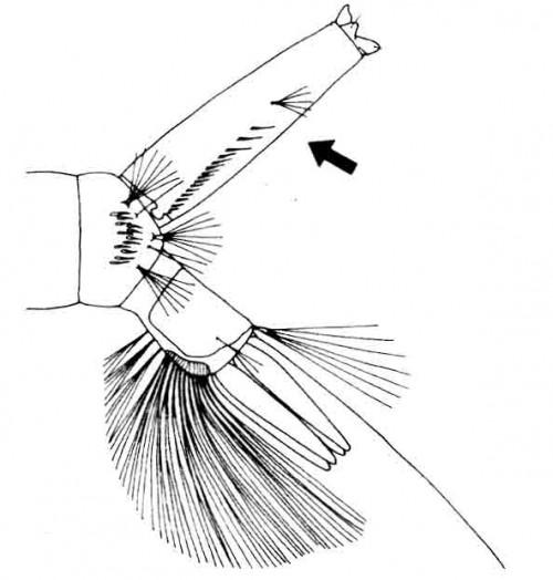 Abdominal segment VIII of <em>Aedes aegypti</em>