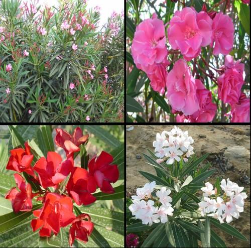 A: <em>Nerium</em> <em>oleander</em> plant, B: <em>Nerium</em> <em>oleander</em> pink flowers, C: <em>Nerium</em> <em>oleander</em> red flowers, D: <em>Nerium</em> <em>oleander</em> white flowers