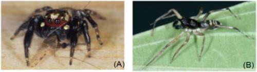 Adult male of <em>Evarcha culicivora</em> preying on <em>Anopheles gambiae</em> (B) Adult male of <em>Paracyrba wanlessi.</em> [Source: Jackson and Cross 2015]