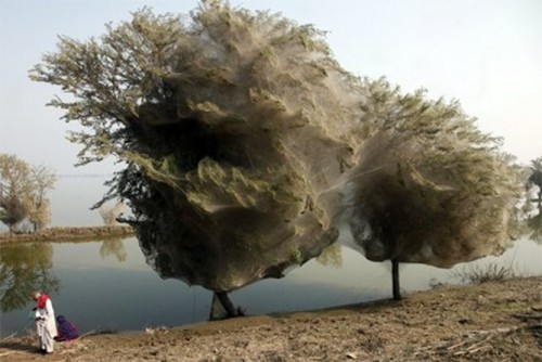 Trees shrouded in spider webs lining the edges of a submerged farm field in the Pakistani village of Sindh