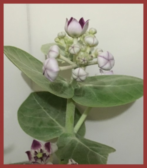 Calotropis leaves