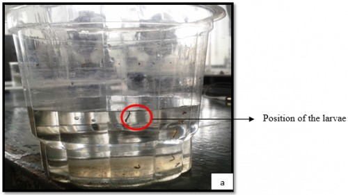 Position of <em>Aedes</em> larvae (making an angle to the water surface)
