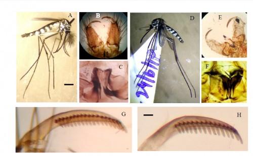 <em>Armigeres obturbans</em>: Male adult (A), hypopygium (B), phallosome (C), and <em>Armigeres aureolineatus </em>adult female (D), hypopygium (E), phallosome (F). the Gonostylar teeth of <em>Armigeres obturbans </em>(G) <em>Armigeres aureolineatus </em>(H). Bar represents 1 mm.