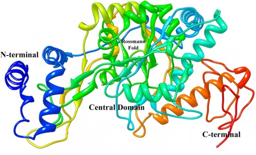 The representation of 3D model of <em>Aedes aegypti</em> UDP N-acetyl glucosamine pyrophosphorylase (AaUAP).
