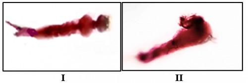 Treated larvae with phloxine B
