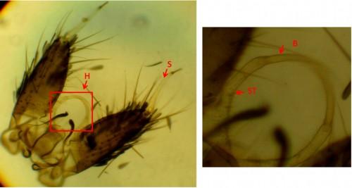 <em>Hulecoeteomyia crysolineata</em>