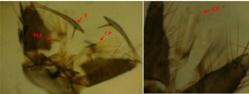 <em>Stegomyia annandalei</em>