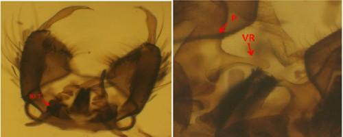 <em>Stegomyia aegypti</em>