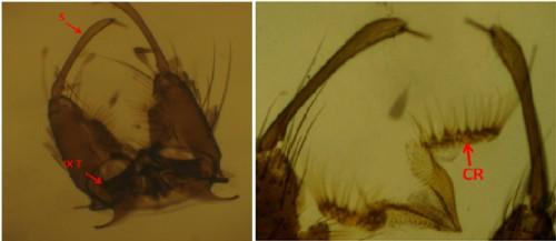 <em>Stegomyia albopicta</em>