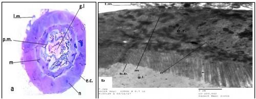 Transverse section (a) (400 X) and electron micrograph (b) (4000X) in the midgut region of untreated 3<sup>rd</sup> larval instar of <em>Culex pipiens</em>.( e.c.= epithelial cell. g.l.= gut lumen. n= nucleus. l.m.= longitudinal muscle. b.b.= brush border, p.m. Peritrophic membrane, m =microvilli, m=mitochondria, e.r.= endoplasmic reticulum)