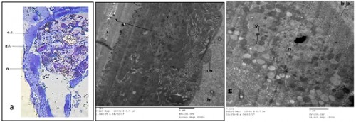 Transverse section (a)(400X) and electron micrograph (b&c) (2000X & 2500X) in the midgut region of <em>Culex pipiens larvae</em> treated with <em>Azadirachta indica</em>.(e.c.= epithelial cell. g.l.= gut lumen. n= nucleus. L.m.= longitudinal muscle. b.b.= brush border. v= vacuoles).