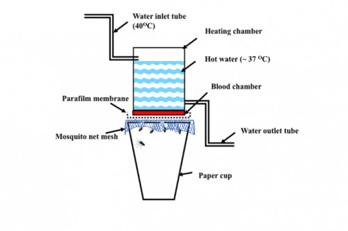 Schematic drawing of the two-chambered blood feeding device offered to <em>Ae. Aegypti</em> female mosquitoes. (a) Water (40OC) inlet tube (IT), (b) Parafilm membrane, (c) Mosquito net mesh (d)Heating chamber (HC), (e) Hot water (~ 37OC OC) (f) blood chamber (BC), (g) Water outlet tube (OT), (h) paper cup with mosquitoes covered with mosquito net mesh