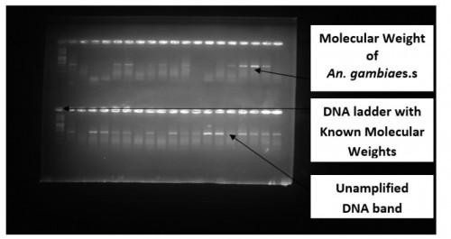 Gel image of <em>Anopheles gambiae</em> complex
