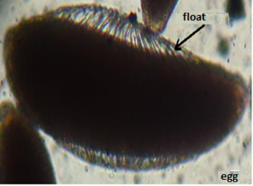 Nulliparous ovary (tracheoles coiled) according to Detinova (CREC, 2013)
