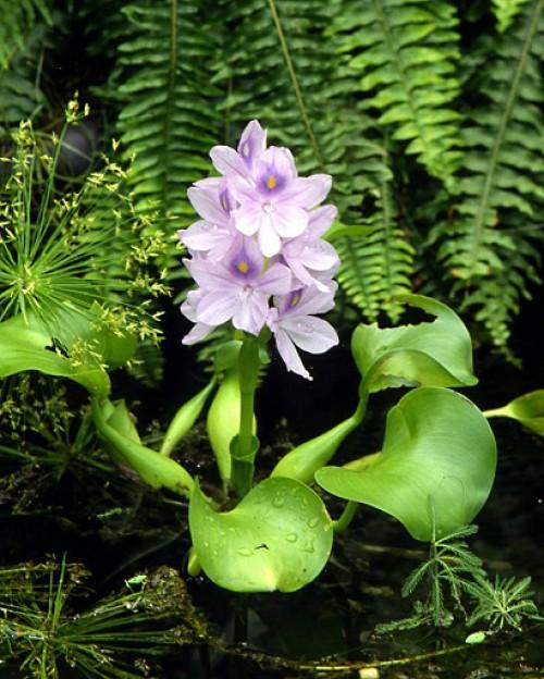 <em>Eichhornia crassipes</em>